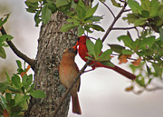 Cardinals. Wildlife. Nature. Photography Photos - 33- Cardinal Love by Joseph Keane