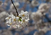 Cherry Blossoms Glass Art Metal Prints - Cherry Blossoms Metal Print by Robert Ullmann