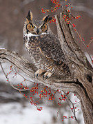 Bittersweet Photo Posters - Great Horned Owl Poster by Cindy Lindow