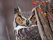 Bittersweet Framed Prints - Great Horned Owl Framed Print by Cindy Lindow