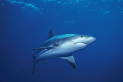 Reef Sharks Posters - A Caribbean Reef Shark Cruising Poster by Nick Caloyianis