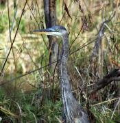 Cathy  Beharriell - A Portrait of a Blue Heron