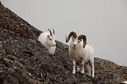 Tim Grams - A Ram Defending a Ewe