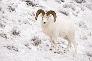 Tim Grams - A Ram on a Snowy Slope