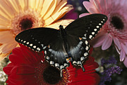 Swallowtail Butterflies Framed Prints - A Spicebush Swallowtail Butterfly Framed Print by Darlyne A. Murawski