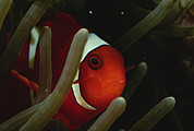 Damselfish Framed Prints - A Spinecheek Anemonefish Framed Print by Tim Laman