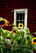 Emily Stauring - A Sunflower Kind Of Day