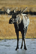 Moose Photos - A Young Bull Moose by George F. Herben