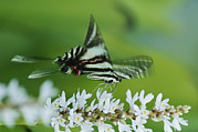 Swallowtail Butterflies Posters - A Zebra Swallowtail Butterfly Sips Poster by George Grall