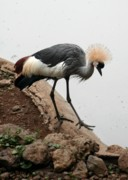 B Rossitto - African Grey Crowned Crane