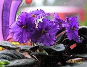 Flowers And Gardens - African Violets by Margaret Buchanan