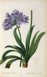 Illustration Framed Prints - Agapanthus umbrellatus Framed Print by Pierre Redoute