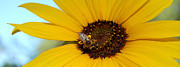 Warm Photographs Framed Prints - All Mine - Honeybee and Sunflower Framed Print by Steven Milner