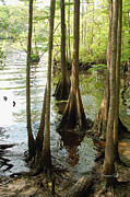 Suzanne Gaff - Along the Waccamaw - Cypress Swamp