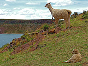 Alpacas Posters - Alpacas by Lake Ayumara in Peru Poster by Ruth Hager