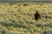 Bison Bison Prints - American Bison Print by Sebastian Musial