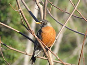 Back Yard Birds Framed Prints - American Robin Framed Print by Jackie Popp