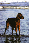 Atlantic Beaches Framed Prints - An Irish Setter Stand In The Surf Framed Print by Rex A. Stucky