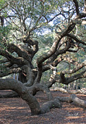 Suzanne Gaff - Angel Oak - Johns Island SC