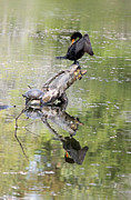 Suzanne Gaff - Anhinga and Turtle