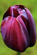 Annalisa Tulip Fine Art Print by Martina Fagan