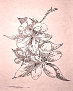Apple Tree Drawings Prints - Apple Blossoms Print by Jeremiah Welsh