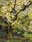 B Rossitto - Apple tree in bloom