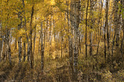 Sandra Bronstein - Aspens At Sunrise - Grand Tetons