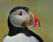 Puffin Photo Posters - Atlantic Puffin Portrait Poster by Tony Beck