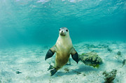 Michael P ONeill and Photo Researchers  - Australian Sea Lion