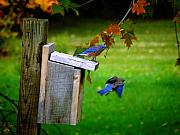 Scott Hovind - Autumn Blue Birds