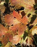 Grape Leaves Photos - Autumn Grape Leaves by Melanie Rainey