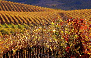 Grapevines Posters - Autumn In The Vineyard Poster by Jeff Lowe