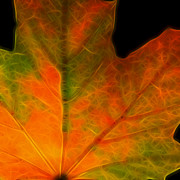 Wingsdomain Art and Photography - Autumn Maple Leaf - Square