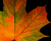Wingsdomain Art and Photography - Autumn Maple Leaf