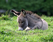 Donkey Foal Framed Prints - Baby Donkey Framed Print by Deborah  Smith