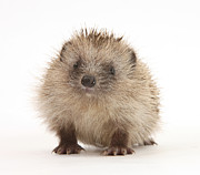 Mark Taylor and Photo Researchers - Baby Hedgehog