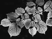 Jennie Marie Schell - Back Lighted Leaves Monochrome