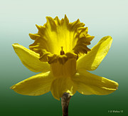 Digitally Altered Floral Posters - Backlit Daffodil Poster by Brian Wallace