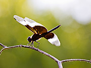Barry Jones - Backlit Dragonfly
