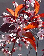 Amy Vangsgard - Backlit Pink Tree Blossoms