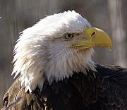Marty Koch - Bald Eagle 3