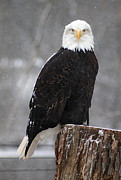 Scott Hovind - Bald eagle 4