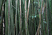 Oi Framed Prints - Bamboo Forest Framed Print by Pierre Leclerc