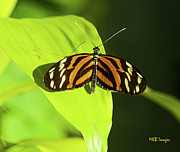 Bugs And Insects - Banded Orange Butterfly by  Margaret Buchanan