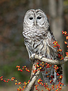Bittersweet Framed Prints - Barred Owl and Bittersweet Framed Print by Cindy Lindow