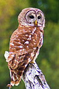 Bill Barber - Barred Owl