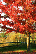 Sandra Cunningham - Beautiful red maple tree
