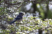 Bluejay Metal Prints - Beauty in the Dogwoods Metal Print by Travis Truelove