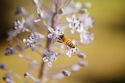 Collects Photo Framed Prints - Bee Collects Necta 3 Framed Print by Benny  Woodoo